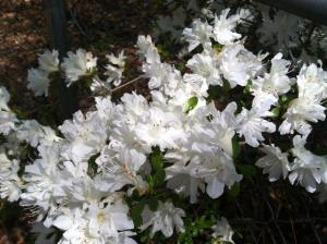 White double azaleas in April.