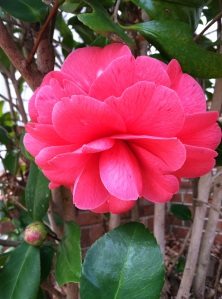 Camellias in January.